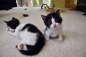 世界上最小猫排行:锈斑豹猫反差萌 东方短毛猫上榜