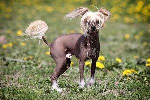 世界上最奇特的狗品種:馬地犬上榜  無毛犬品種最好打理