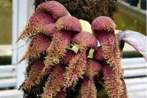 最臭的花top10 泰坦魔芋有著尸臭味大王花是腐爛的味道