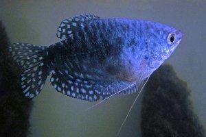 五大流氓觀賞魚 都是美丽的外表和凶猛的性格共存