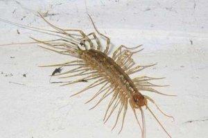 中国八大最毒的毒虫 蚰蜒能够爬进人的耳朵之中