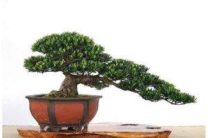 大鎮宅寶樹:竹子榜 羅漢鬆寓意四季顺遂