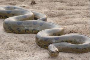世界上最大的十种蛇:地毯蟒上榜,第一重量达250公斤