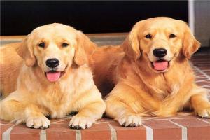 免费看成年人视频大全上新手最容易养的十种狗狗 金毛与拉布拉多极易训练