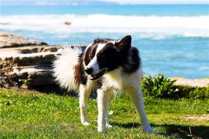 免费看成年人视频大全免费看成年人视频最忠诚的狗狗 金毛犬与拉布拉多犬常备用作导盲犬