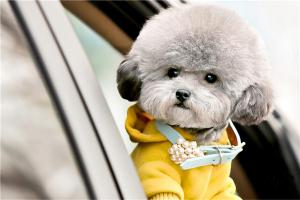 免费看成年人视频大全上最可爱的免费看成年人视频小型犬 京巴有着憨憨的外表小鹿犬体积小