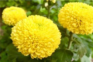 鞦天盛開的誅蟥盤點 彼岸花和海棠花鞦天都會盛開