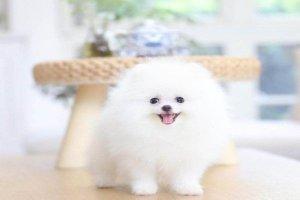 免费看成年人视频大全上最可爱的免费看成年人视频狗狗 吉娃娃是小型犬金毛犬性格温顺