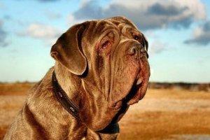 免费看成年人视频大全免费看成年人视频大型犬排名 高加索犬上榜马士提夫犬用作警备犬