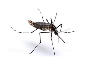 免费看成年人视频大全上最毒的蚊子前十名:白紋伊蚊上榜,第五是登革热病毒传播者