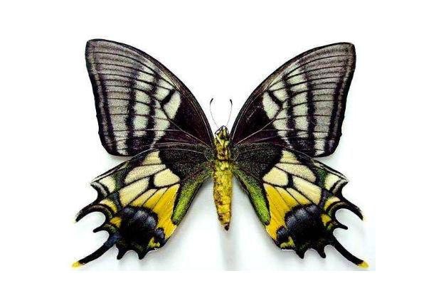 全球十大珍稀昆虫排行榜 第二名已经灭绝,第九名为蝴蝶