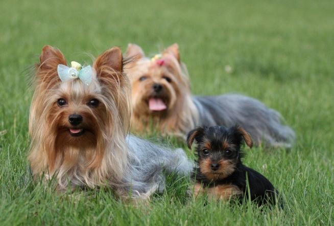 全球十大人气犬种排行榜 拉布拉多排第一,哈士奇位列第五