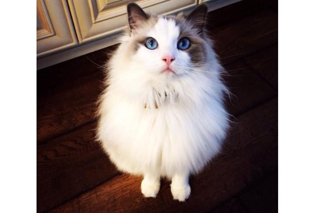 全球最温顺的猫排名 温柔又可爱的猫咪,你最爱哪一种呢