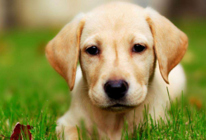 免费看成年人视频大全免费看成年人视频人气犬种排行榜 拉布拉多排第一,哈士奇位列第五