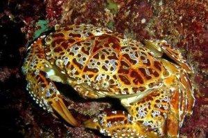 世界十大最毒的螃蟹 铜铸熟若蟹一口就能致人死亡