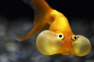 免费看成年人视频大全五大最难养的金鱼 水泡金鱼上榜第一 望天鱼不能混养