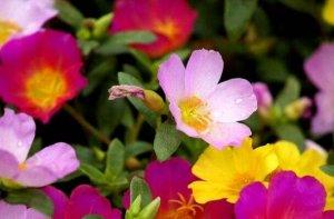 十大養不死的植物 太陽花俗稱養不死顏值超高很好養活