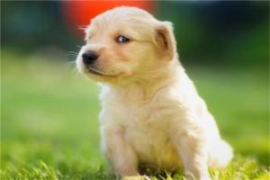 十大最听话的狗排名:吉娃娃上榜,金毛寻回犬第一