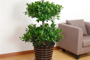 十大最旺宅的植物:松柏上榜,第四寓意平平安安