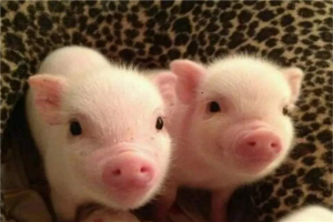 十大最适合家养的动物 茶杯猪仅茶杯大小,第六温顺又可爱