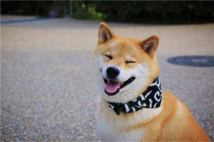 十大目前最受欢迎的宠物 柴犬天生带笑相当可爱第2广受欢迎