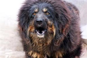 十大最认主的狗狗:藏獒一生只认一个主人 第3做导盲犬