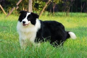 十大聪明名犬:德国牧羊犬上榜,边境牧羊犬第一