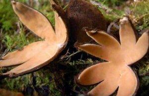 世界上10大最奇特的蘑菇 狗头蛇菌上榜,第五具有很高的药用价值