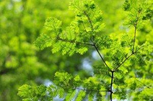 """中国十大珍稀植物 银杏树上榜,第三被称为""""植物界大熊猫"""""""