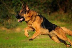 世界上最知名的十大警犬品种 德牧排第一