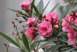 十大美丽剧毒植物排行榜 夹竹桃第一,水仙花、罂粟上榜