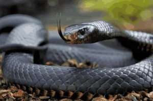 全球最危險的蛇類排行榜 銀環蛇上榜,第一是攻擊速度最快的蛇