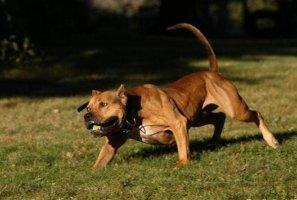全球十大猛犬排行榜官方排名,比特犬上榜,第八是西装暴徒