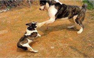 狗狗战斗力排行榜前10名,藏獒仅排第四,第一仅在中亚地区常见