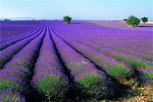 全球十大名花 风信子上榜,第九郁金香是多个国家国花