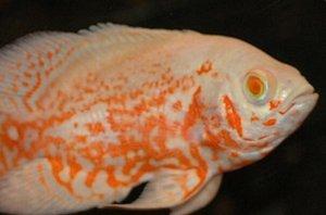 世界十大最好养的大型观赏鱼,银龙鱼上榜,第五适合群养