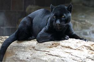 世界十大少见黑色动物,美洲狮上榜,第六是一种玩具蛇