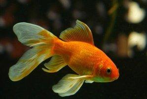 十大常见冷水观赏鱼,金鱼上榜,第二是会游泳的艺术品。