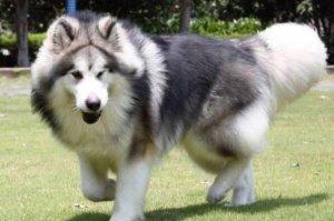 十大寿命最长的狗品种 阿拉斯加第一,吉娃娃上榜