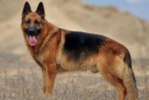 十大适合看家护院的狗 德国牧羊犬第一,杜宾犬上榜