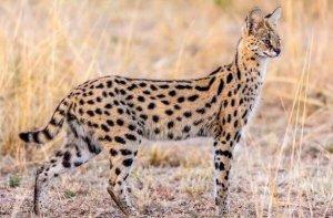 中国十大禁养猫 荒漠猫上榜,第二是体型最小的猫之一