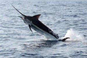 世界十大游速最快的鱼,印度枪鱼上榜,金枪鱼上榜两种