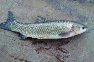 中国最常吃的十种淡水鱼,鲤鱼上榜,第二的肝可提炼鱼肝油