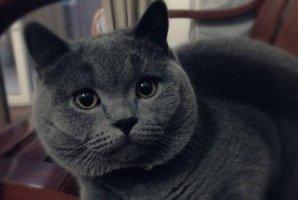 """全球最受欢迎的十大宠物猫,布偶猫上榜,第十被称为""""温柔的巨人"""""""