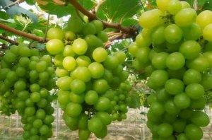 排名前十的葡萄品种 巨峰葡萄上榜,第九原产于美国