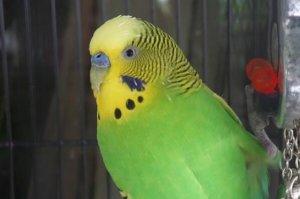 最值得养的十种宠物鸟,金刚鹦鹉上榜,第四被称为鸟中歌手