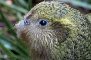 世界最珍贵的十大稀有鸟类,丹顶鹤上榜,第一是唯一不会飞行的鹦鹉